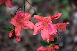 Azalea (Rhododendron simsii) at Green Haven Garden Centre