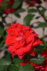 Canadian Shield™ Rose (Rosa 'CCA576') at Green Haven Garden Centre