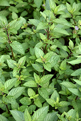 Chocolate Mint (Mentha x piperita 'Chocolate') at Green Haven Garden Centre