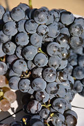 Frontenac Gris Grape (Vitis 'Frontenac Gris') at Green Haven Garden Centre
