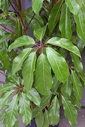 Amate Schefflera (Schefflera actinophylla 'Amate') at Green Haven Garden Centre