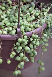 String Of Pearls (Senecio rowleyanus) at Green Haven Garden Centre