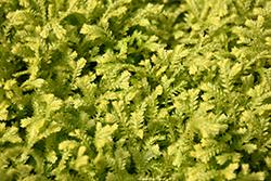 Golden Spikemoss (Selaginella kraussiana 'Aurea') at Green Haven Garden Centre