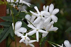 Climbing Jasmine (Jasminum polyanthum) at Green Haven Garden Centre