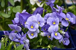Blue Selection Pansy (Viola cornuta 'Blue Selection') at Green Haven Garden Centre