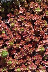 Dragon's Blood Stonecrop (Sedum spurium) at Green Haven Garden Centre