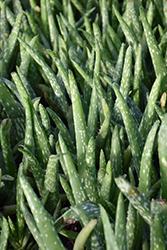 Aloe Vera (Aloe vera) at Green Haven Garden Centre