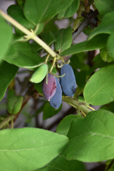 Aurora Honeyberry (Lonicera caerulea 'Aurora') at Green Haven Garden Centre